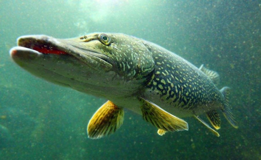 Ouverture de la pêche du carnassier.