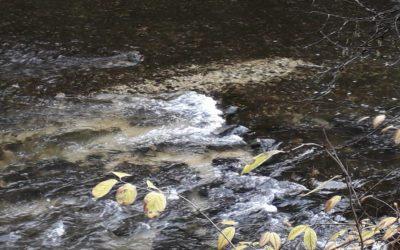 Début précoces des frayes dans le Dessoubre et les affluents.